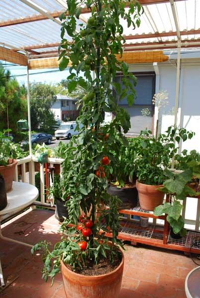U0027Carmellou0027 Tomato Growing In A 15 Gallon Terra Cotta Pot