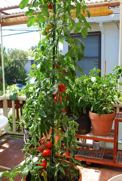 Growing Tomatoes in Containers u0027Carmellou0027 & Growing Tomatoes in Containers Growing Tomatoes in Pots ...
