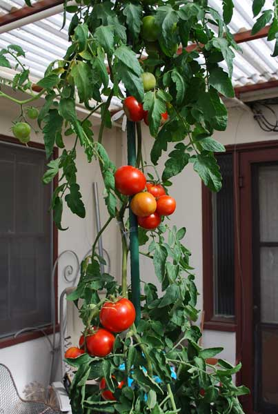 how to use tomato planters