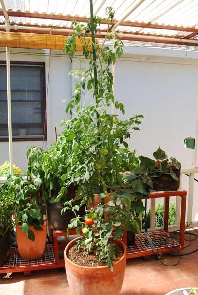 Carmello Tomato Growing in a 15 gallon Terra Cotta Pot