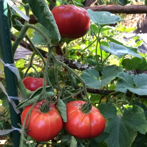 Beefsteak Tomato Varieties—'Caspian Pink' is a beautiful, juicy heirloom beefsteak slicing tomato that's my wife's favorite tomato