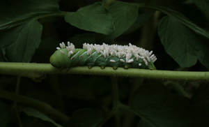 Tomato Hornworm with Braconid Wasp Cocoons