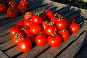 Tomato Varieties 'Sweet Cluster' Stack