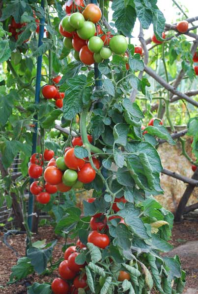 Celebrity tomato plants for sale