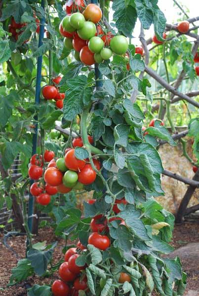 tomato varieties, types of tomatoes, heirloom tomatoes, Natural flower