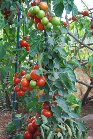 "Growing Tomatoes 'Italian-Grandfather-style':  Train the Plant to 1 or 2 Leaders and Spiral Them Up a Stake, Tying Every 8"".  Fruit Sets in Fat Clusters Along the Stake"