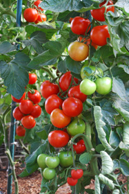 Growing Tomatoes 'Italian Grandfather Style'