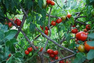 Tomato Temple 1