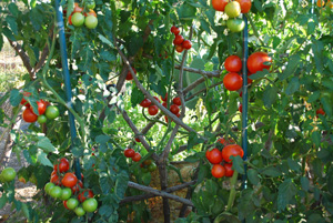 Growing Tomatoes 'Italian- Grandfather- Style'