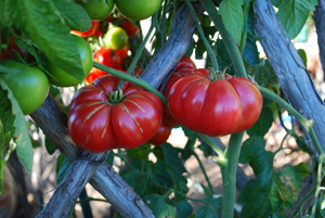 Tomato Varieties—'Caspian Pink on the Vine 1'