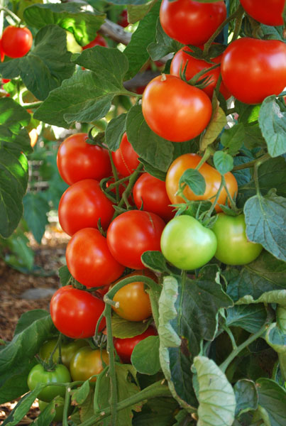growing tomatoes, how to grow tomatoes, planting tomatoes, Natural flower
