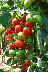 Salad Tomato Varieties—'Sweet Cluster' sets fat clusters of 6-8 tomatoes on multiple trusses.