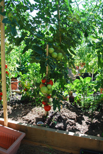 Tomato Varieties—'San Francisco Fog' on the Vine 1