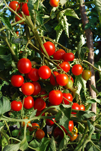 Tomato Varieties—'Stupice' on the Vine