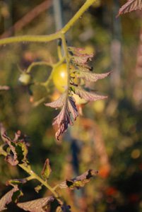 Tomato Diseases–Western Yellows (Curly Top), Closeup