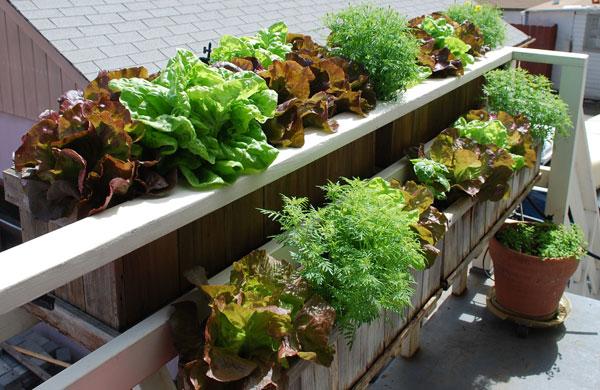 Growing Lettuce How to Grow Lettuce Planting Lettuce