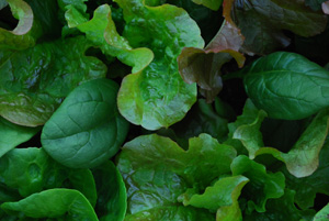 Window Box Salads Closeup 2