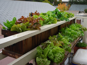 Salads Growing in Window Boxes