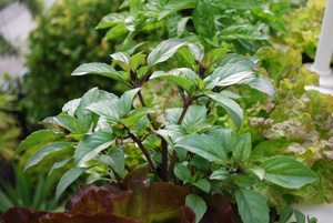 Basil Varieties—'Mexican Cinnamon