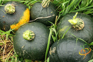 Winter Squash Varieties—'Burgess' Buttercup