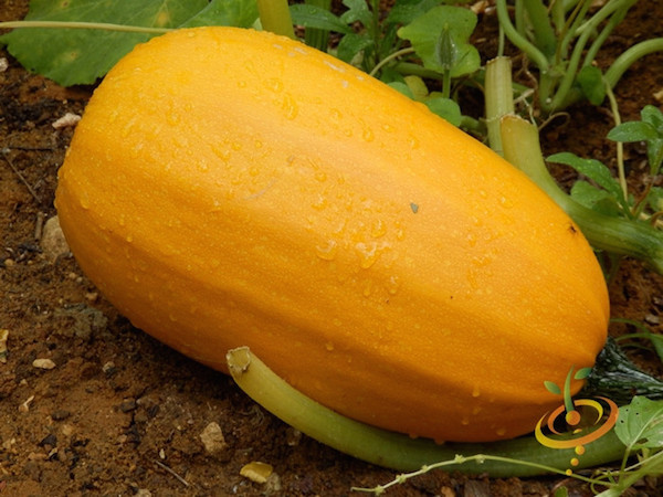 Watch How to Buy Acorn Squash video