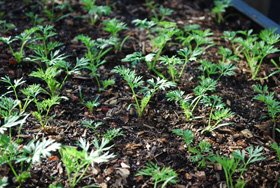 Carrot Seedlings 5 Weeks after Planting
