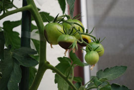 Blossom End Rot is Common on Container Tomatoes