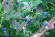 Northern Highbush Blueberry 'Berkeley' 1