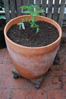 'Carmello' Tomato Growing in a 15-gallon Terra-Cotta Pot--Start