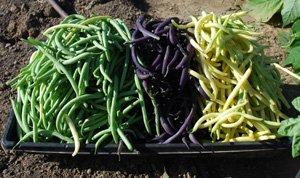 Green bean harvest