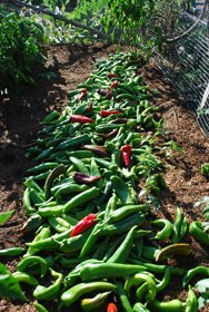 Green Chile Harvest: 52 lbs from 16 Plants