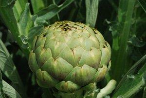 Artichoke Varieties—'Globe'