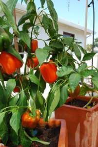 Growing Peppers—'Growing Peppers—'Gourmet' Orange Bell Pepper 2