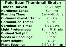 Pole Beans Thumbnail Sketch