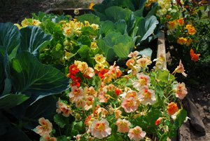 Nasturtiums Interplanted with Cabbage—Nasturtiums Act as a Trap Crop, Drawing Aphids Away from Cabbages