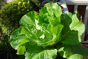 'Chinese (Napa) Cabbage 'Rubicon' Growing in a Window Box 1