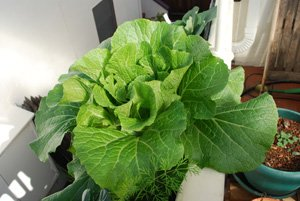 'Chinese (Napa) Cabbage 'Rubicon' Growing in a Window Box 3
