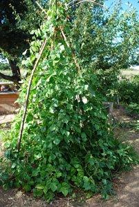 Green Bean Teepee, Late