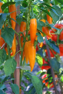 Growing Hot Peppers—'Bulgarian Carrot' 1
