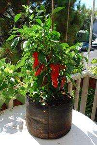 'Carmen' Bull's Horn Pepper Growing in a 5-gallon Smart Pot