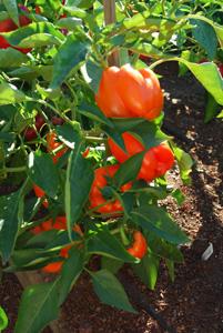 Pepper Variety 'Gourmet'