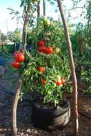 'Carmello' Tomato Growing in a 10-gallon Smart Pot