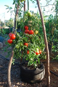 'Carmello' Tomato Growing in a 10-gallon Smart Pot
