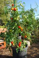 'Early Girl' Tomato Growing in a 15-gallon Plastic Pot