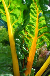 'Rainbow' Swiss Chard 1