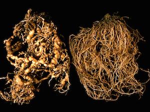 Tomato Diseases–Root Knot Nematode