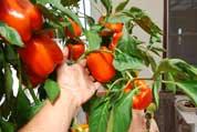 Pepper Varieties 'Gourmet', Hand for Scale