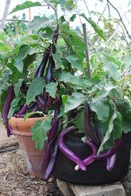 Teenage Eggplants Hanging Out