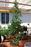 'Carmello' Tomato Growing in a 15-gallon Terra-Cotta Pot--Week 10