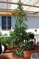 'Carmello' Tomato Growing in a 15-gallon Terra-Cotta Pot--Week 10